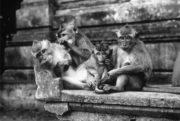 Детство — этап жизненного цикла, который есть только у людей. Прочие приматы, как и эти макаки, быстро переходят от детства к «подростковому периоду», а затем к взрослой жизни.